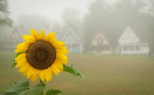 bright yellow sunflower with Victorian cottages in background on a foggy morning