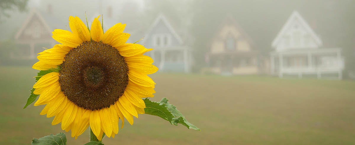 bright yellow sunflower with blurring victorian cottages in the background on a foggy morning