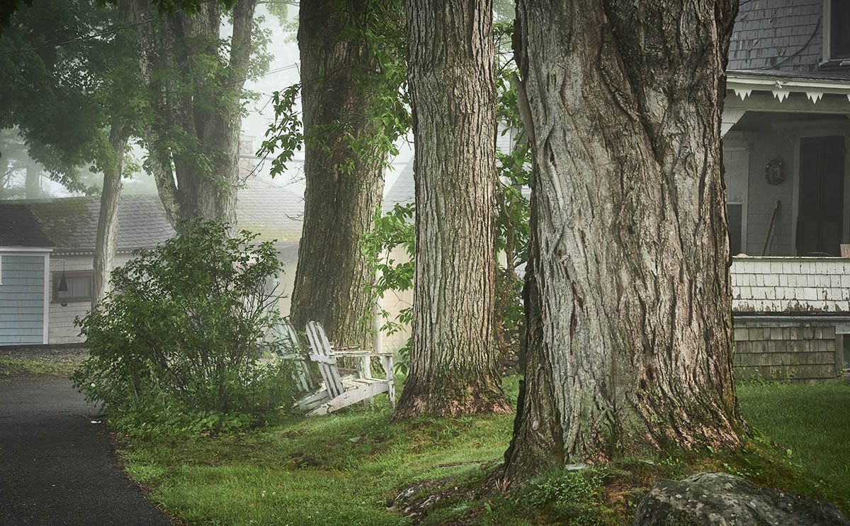 two weathered white Adirondack chairs nestled between large tree trunks